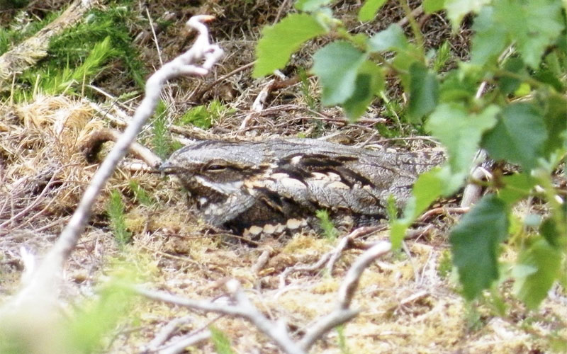 Thorncombe Woods - Nightjar Walk