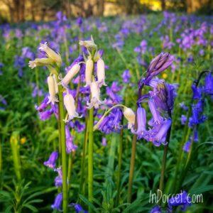 Dorset Spring Flowers