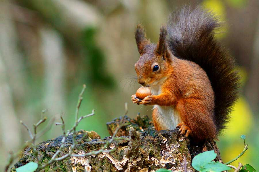 Brownsea - Red squirrel walks 2019
