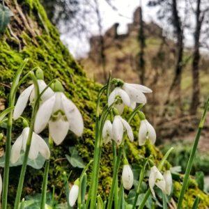 Spring Snowdops